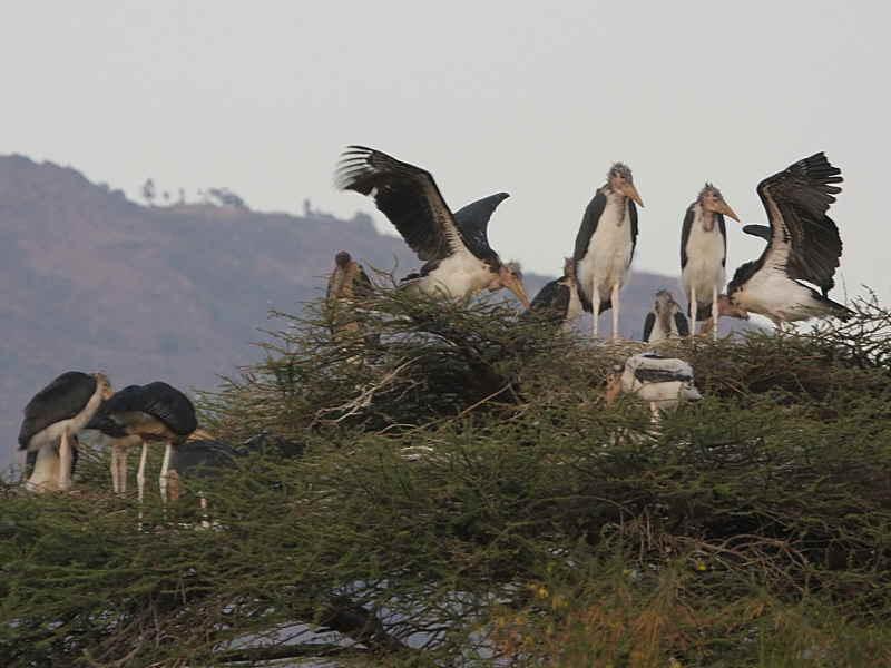 Marabou Stork, Arba Minch