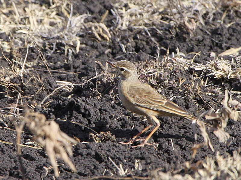 Plain-backed Pipit, near Yabello