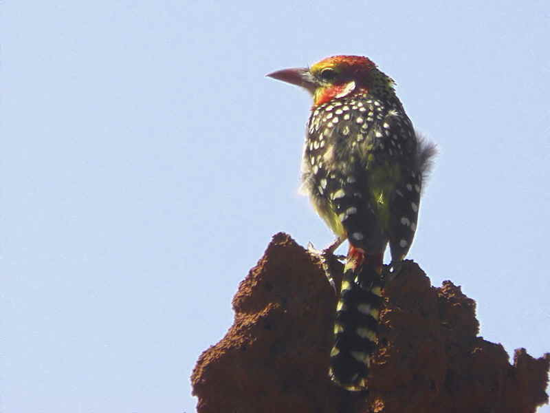 Red-and-yellow Barbet, near Negele