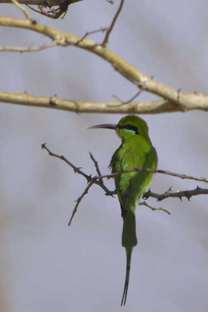 Little Green Bee-eater, Waza NP, Cameroon