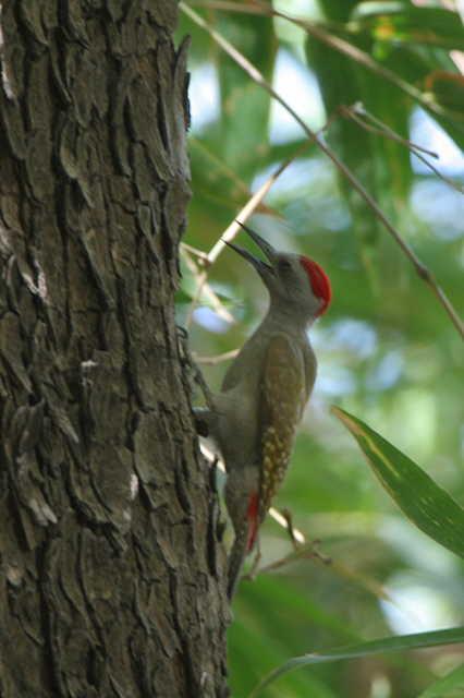 Grey (or Gray) Woodpecker