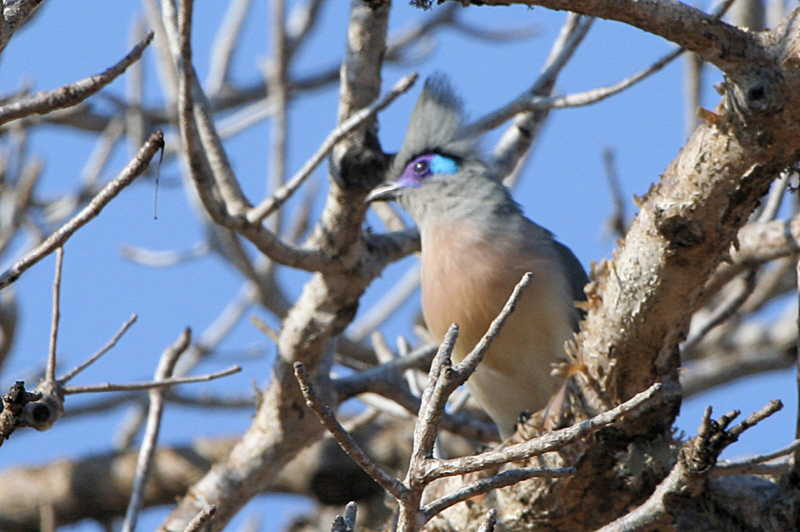 Crested Coua,  Parc Mosa-Ifaty, Madagascar