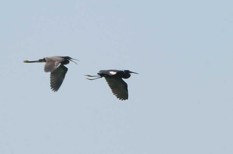 Dimorphic Egret, Nosy Ve, Madagascar