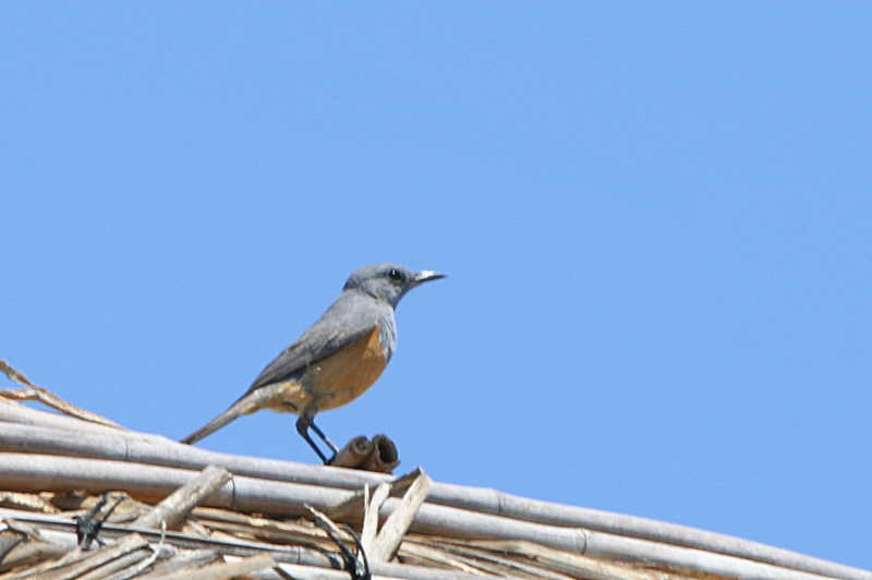 Littoral Rock-Thrush (male), Anakao, Madagascar