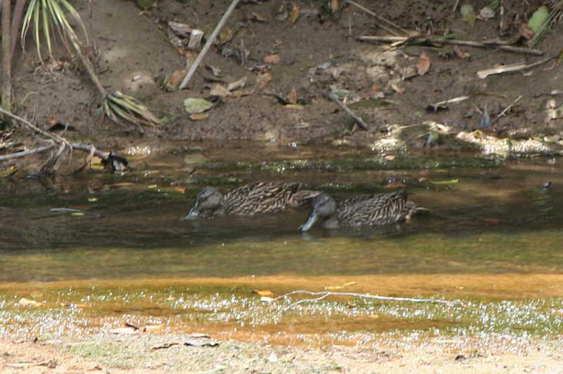 Mellers Duck, Ranomafana NP, Madagascar