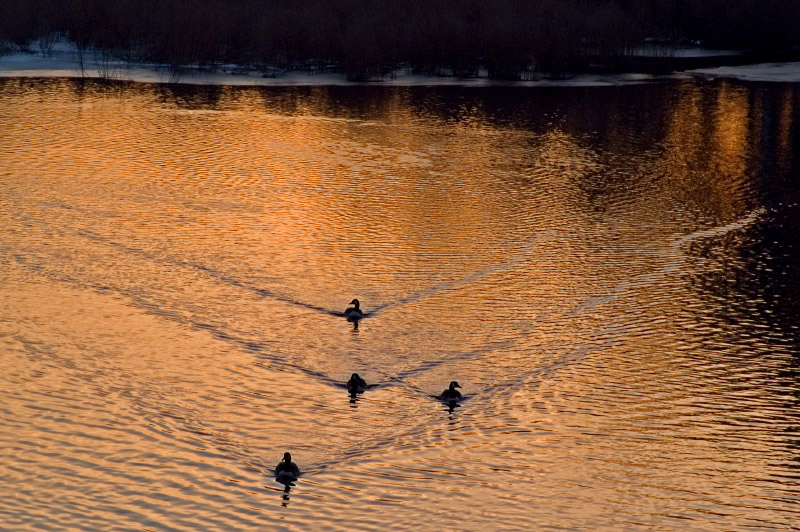 Four geese a swimming