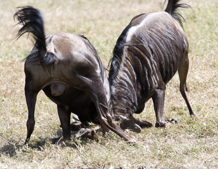 Wildebeest turf battle