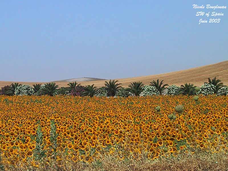 Sunflowers Spain