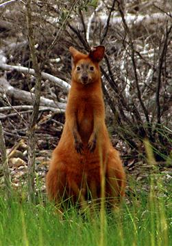 Golden swamp wallaby