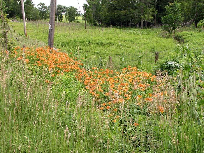 Feral Daylilies