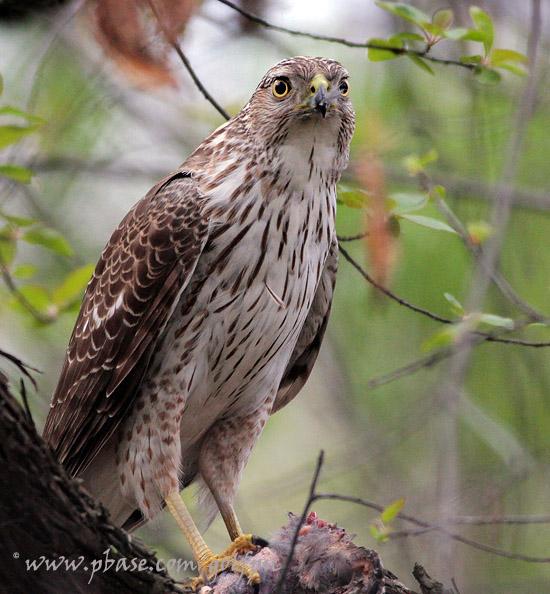 Coopers Hawk with prey