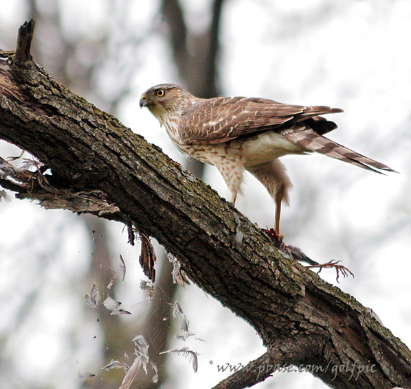 Coopers Hawk plucks feathers from fresh caught prey