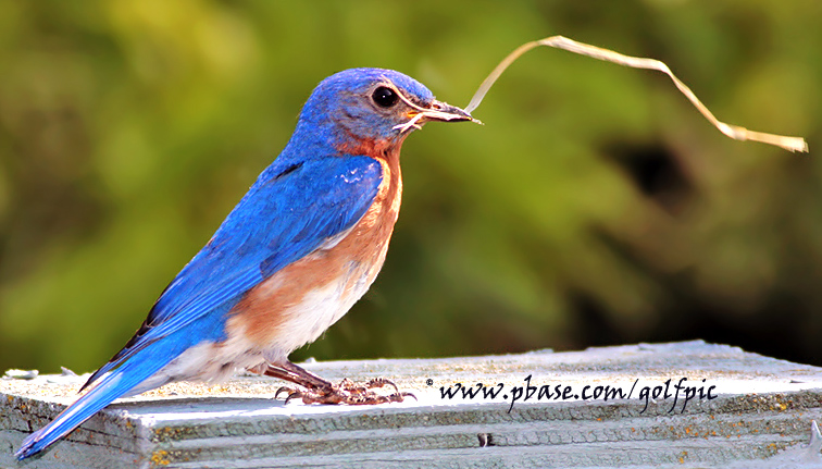 Male Eastern Bluebird fakes housework to impress the ladies (really)