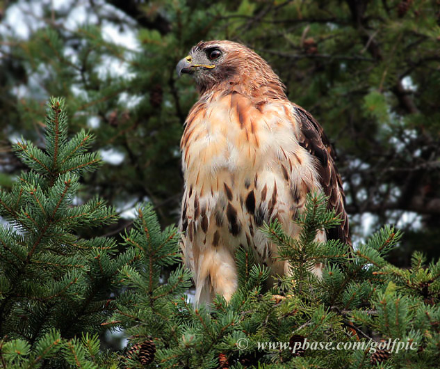 Red-tailed Hawk returns