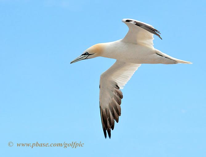 Northern Gannet in flight