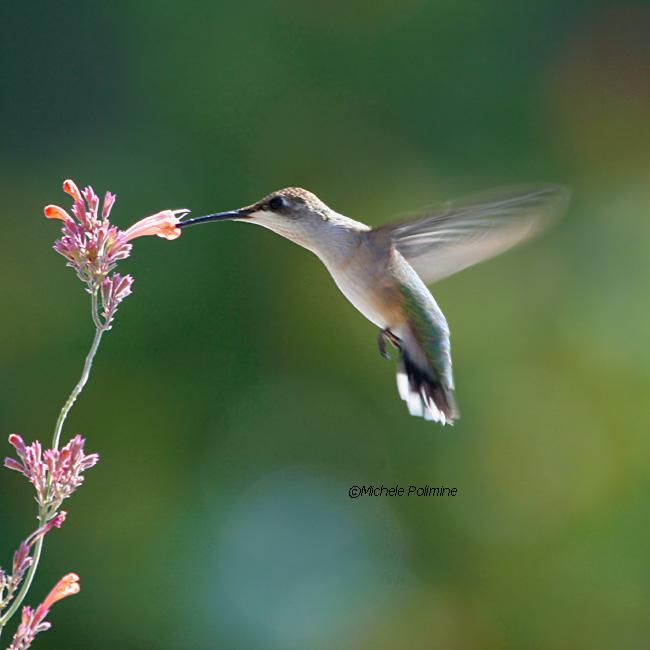 hummingbird female 0096 9-17-06.jpg