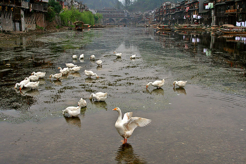Geese on the river in Fenghuang, Hunan Province, China