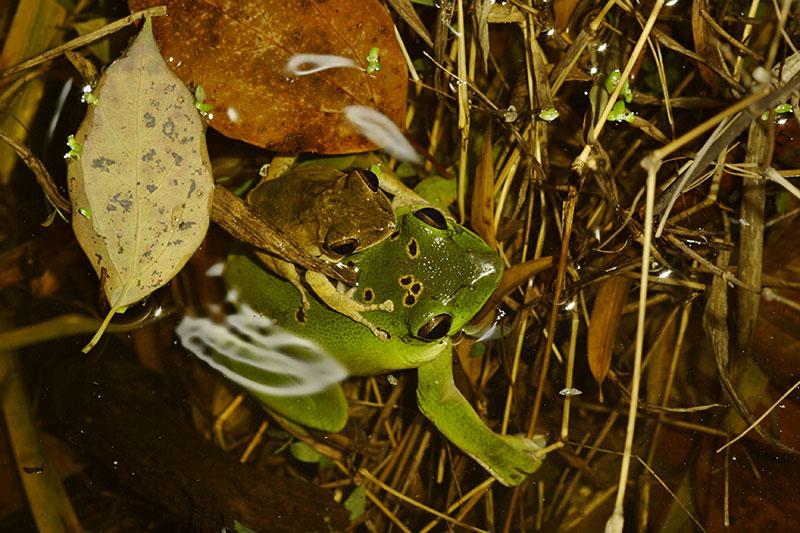 Tree frogs during Spring rains. Jishou City area, Hunan Province, China