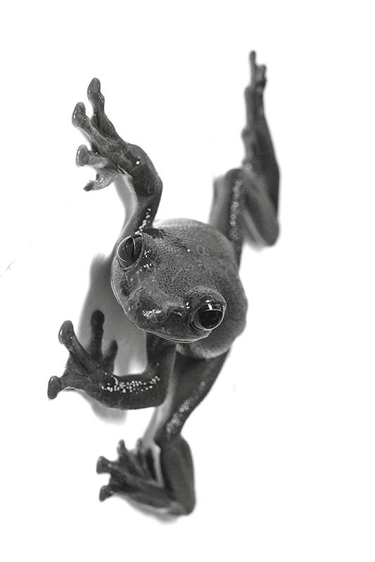 Tree frog, captive for one day. Jishou City area, Hunan Province, Wuling Mts. China
