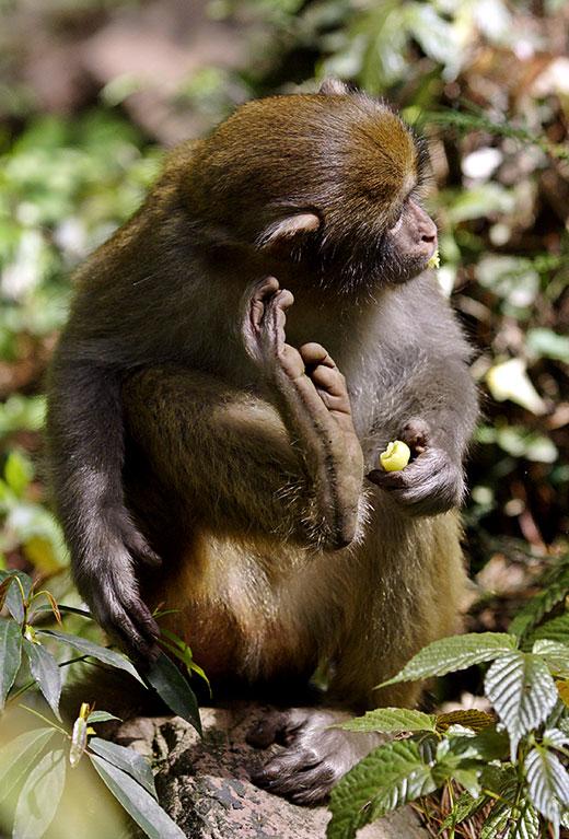 Got an itch? Itch it! Rhesus monkey.