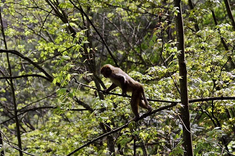 Scouting for food. Rhesus Monkey.