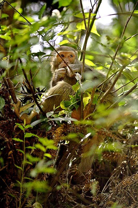 Eating and always watching. Rhesus monkey.
