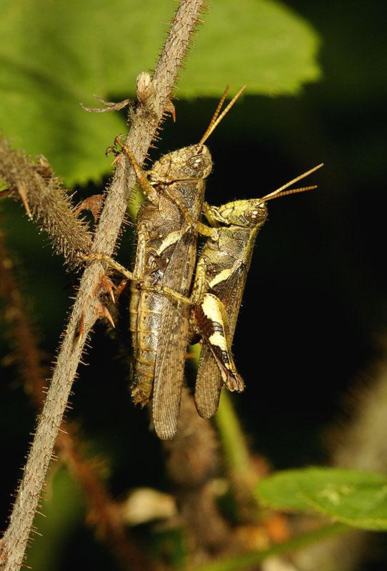 More grasshoppers. Wuling Mts., Hunan Province, China