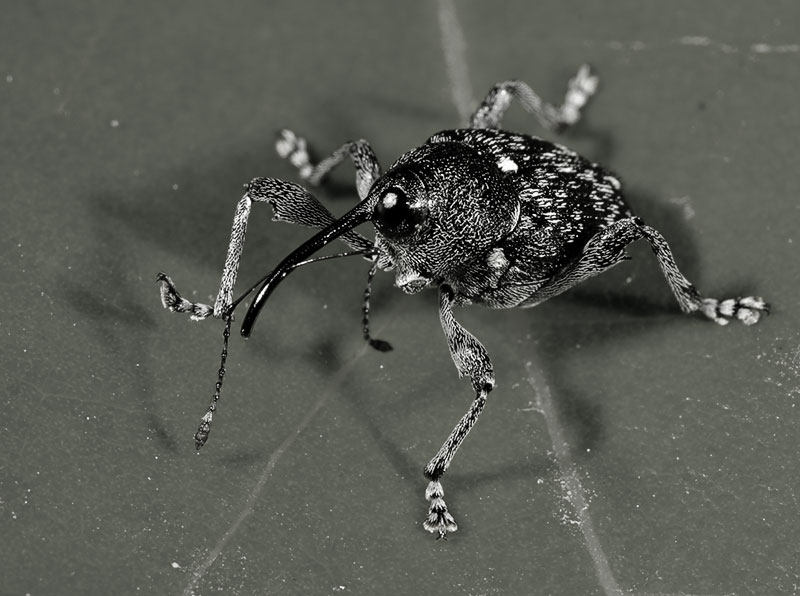 Weevil doing the Monster Mash. order: Curculionidae. Wuling Mts. Hunan Province, China.