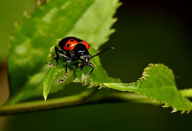 Tightrope. Order Coleoptera. Wuling Mts. Hunan Province, China