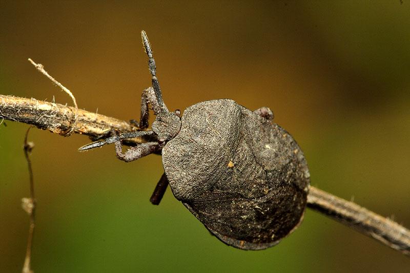 Hemiptera, true bug. Wuling Mts. Hunan Province, China