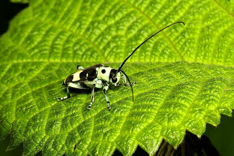 Black and white beetle. Wuling Mts. Hunan Province, China