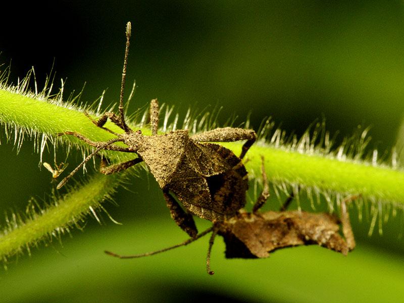 Two Hemiptera and a Diptera. Wuling Mts., Hunan Province, China.