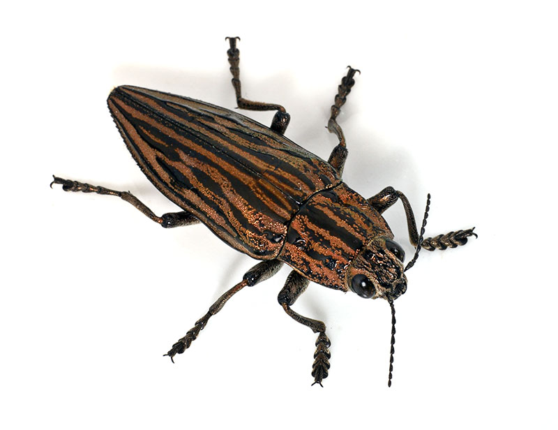 1. Family Buprestidae. Wuling Mts., Hunan Province, China.