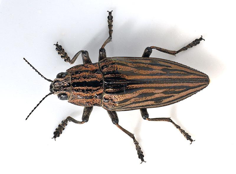 2. Family Buprestidae. Wuling Mts., Hunan Province, China.