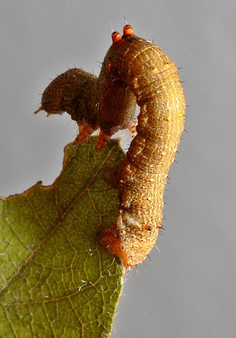 2. Inch worm. Wuling Mts., Hunan, China