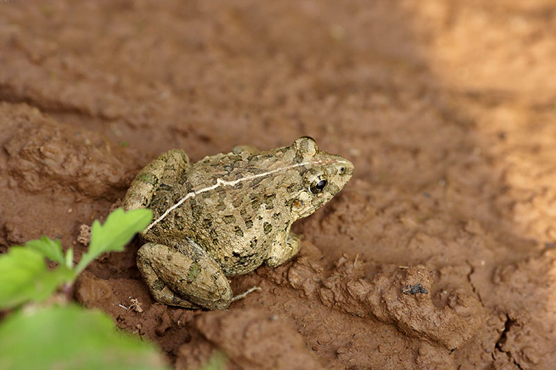 A frog comes out after a rice paddy is plowed.