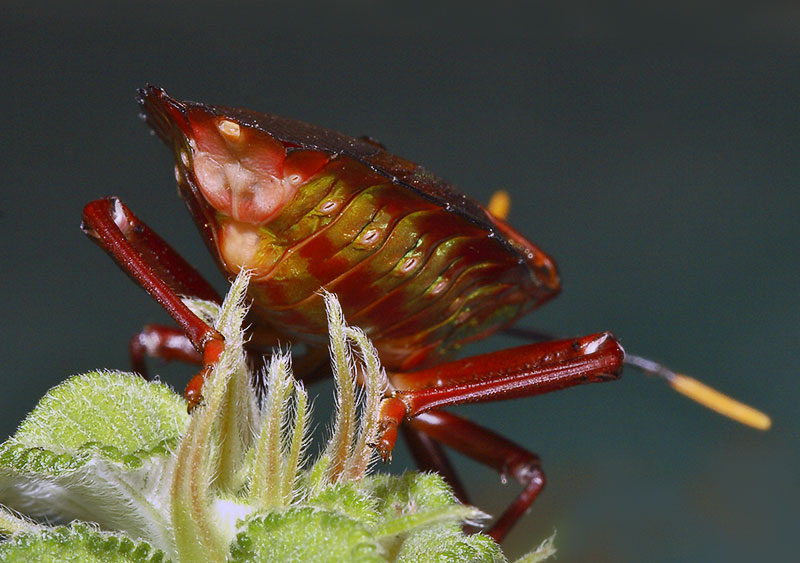 3. Rear view of colorful Hemiptera.