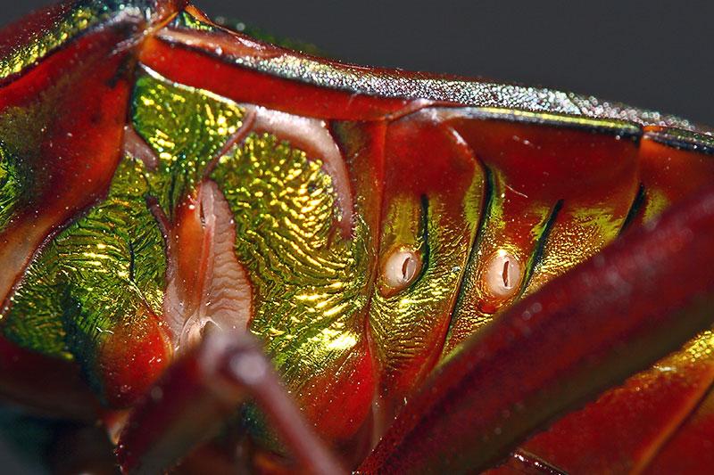 4. Breathing tubes. Hemiptera.