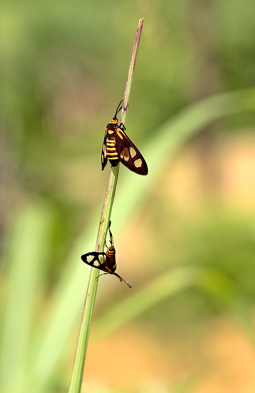Black and yellow butterfly. Lepidoptera. Wuling Mts. China