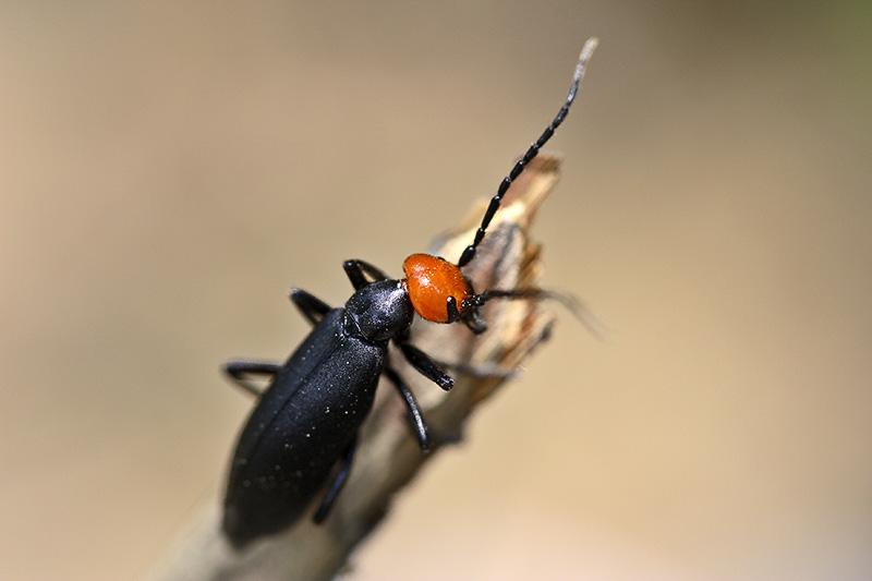 Red headed beetle. Jishou area, Wuling Mts, Hunan, China