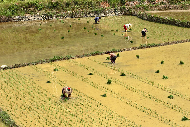 Spring planting of rice fields.