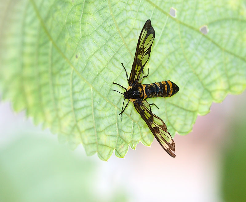 Wasp mimic, Lepidoptera