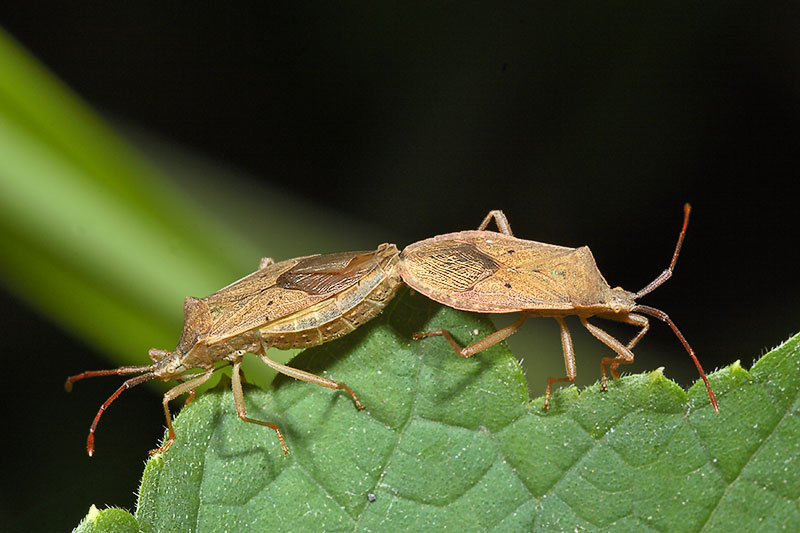 Two bugs relating to each other. Hemiptera.
