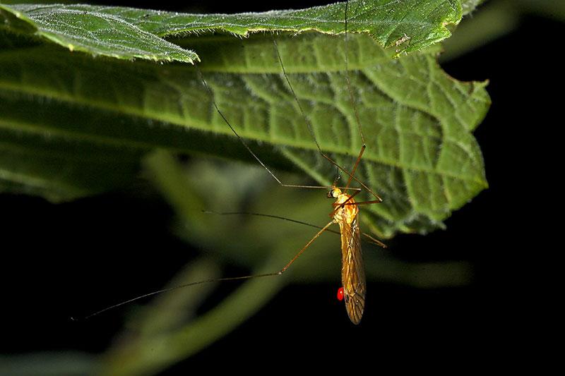 Mosquito Hawk, hanging around.