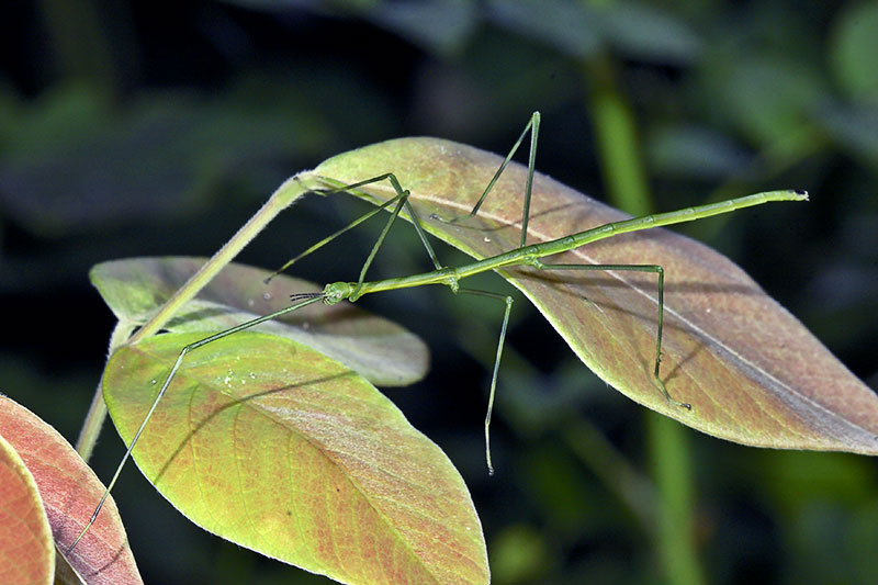 Walking Stick Insect.