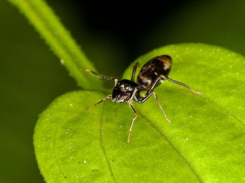 Ant mimic spider.  Arachnida