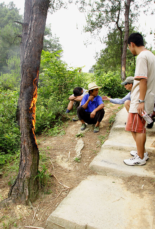 Burning a pine tree to death. #2