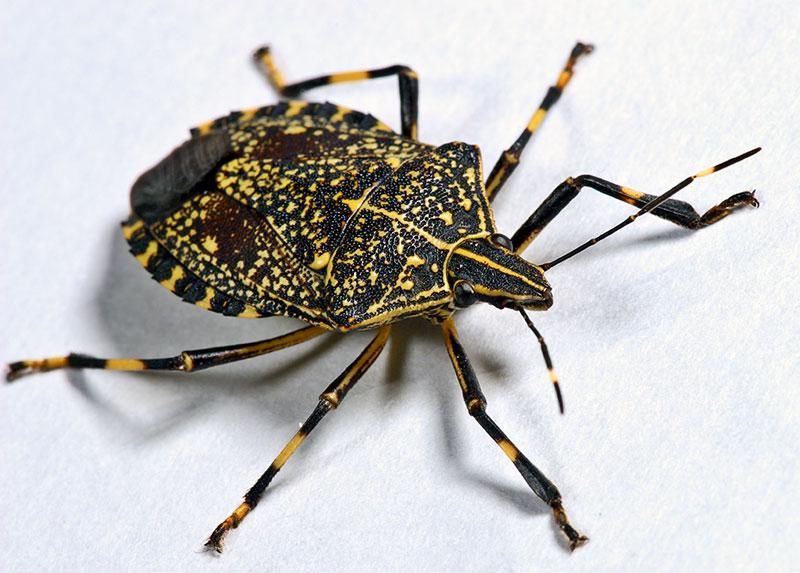 Hemiptera #2.