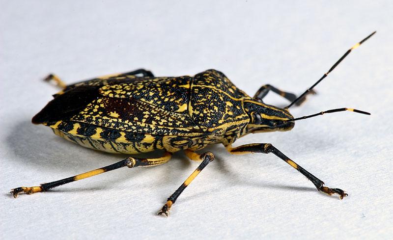 Hemiptera #3.