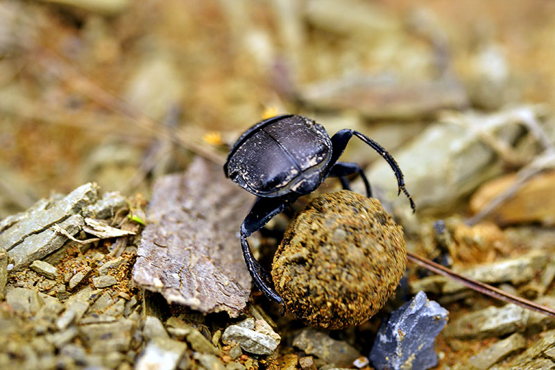 Dung beetle rolling dung.